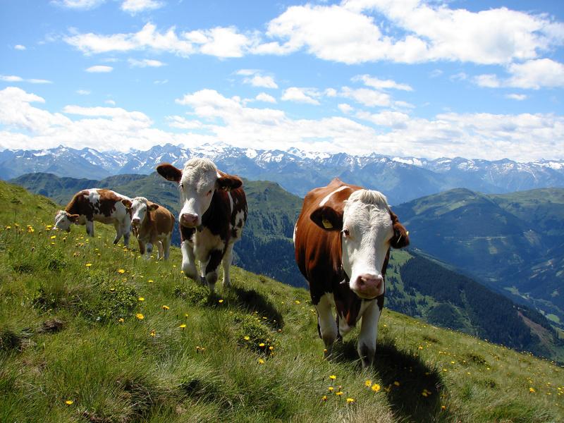 Kühe am Berg